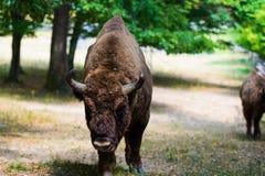 Aurochs en la reserva de Hateg, Rumania foto de archivo libre de regalías