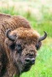 Aurochs europeo del bisonte en Belovezhskaya Puscha Imágenes de archivo libres de regalías