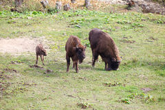 Aurochs family royalty free stock image