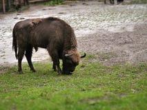Aurochs on green grass Stock Images