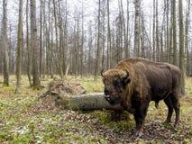 Aurochs, großes Tier im Wald das europäische Bison Bison bonasus, alias Wisent oder der europäische hölzerne Bison, Russland lizenzfreies stockbild
