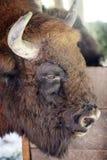 Aurochs head Stock Image