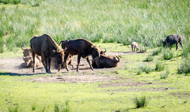 Aurochs in nature Stock Images