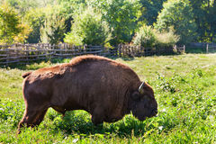 Aurochs in nature on summer with green enviroment Stock Photography