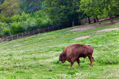 Aurochs in nature on summer with green enviroment Royalty Free Stock Photography