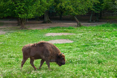 Aurochs in nature on summer with green enviroment Stock Photo