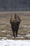 Aurochs in nature on winter with face on camera.  stock photo