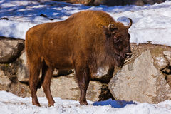 Aurochs in park Stock Photography
