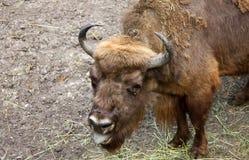Aurochs que espera um alimento Foto de Stock