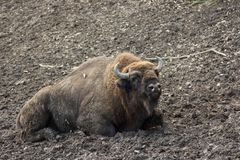 Aurochs resting in forest mud Stock Image