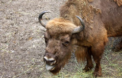 Aurochs waiting for a food. Big aurochs trys to get something to eat Stock Photo