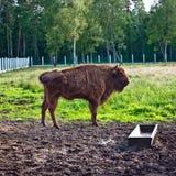 Aurochs In Wildlife Sanctuary Royalty Free Stock Image
