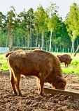 Aurochs In Wildlife Sanctuary Royalty Free Stock Images
