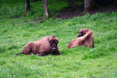 Aurochs ( Zimbrii in romanian) Stock Photo