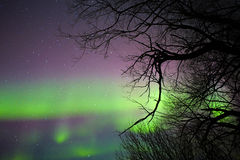 Aurora borealis behind bare tree branches. In a night star studded sky Stock Images