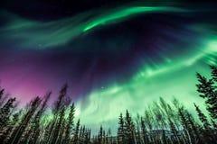Aurora borealis roxo e verde sobre a linha de árvore curvada bonita foto de stock