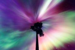 Aurora borealiscorona boven oude Scots pijnboom royalty-vrije stock foto