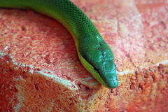 Aurora house snake Stock Photo