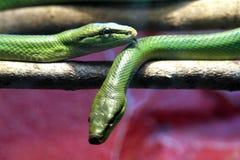 Aurora house snake Royalty Free Stock Photos