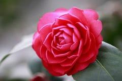 Aurora roja de Rosa, camelia color de rosa de Bengala, japonical en la plena floración con la hoja verde Imagen de archivo