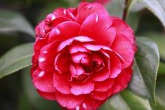 Aurora rossa di Rosa, camelia rosa del Bengala, japonica, in piena fioritura con la foglia verde fotografia stock libera da diritti