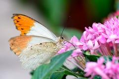 Aurorafalter, πορτοκαλιά άκρη, (cardamines Anthocharis) (αρσενικό) Στοκ Εικόνες