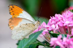 Aurorafalter, πορτοκαλιά άκρη, (cardamines Anthocharis) (αρσενικό) Στοκ εικόνες με δικαίωμα ελεύθερης χρήσης