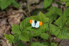 Aurorafalter Anthocharis cardamines Orange sits on a plant. Aurorafalter Anthocharis cardamines Orange - Butterfly sits on a plant stock photography