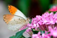 Aurorafalter, astuce orange, (cardamines d'Anthocharis) (mâle) Image libre de droits
