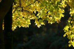 Aurumn-Blätter Stockfoto