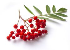 Aurumn rowan branch and berries. Ripe red rowan isolated on white background. Ripe red rowan isolated on white background. Aun berries royalty free stock image