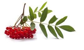 Aurumn rowan branch and berries. Ripe red rowan isolated on white background. Ripe red rowan isolated on white background. Aun berries stock photo