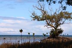 Aus den Mangroven heraus Stockfotos