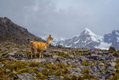 Ausangate, Andes. Llama in high altitudes in south american Andes in Peru, Ausangate stock photo