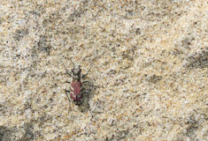 Ausblasen Tiger Beetle (Cicindela-lengi) in Sandy Habitat auf dem P stockbild
