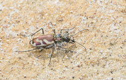 Ausblasen Tiger Beetle (Cicindela-lengi) in Sandy Habitat auf dem P lizenzfreies stockfoto