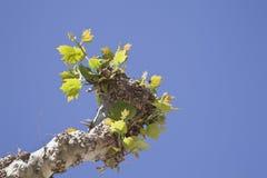 Ausbrüche im Zweig eines Baums Lizenzfreies Stockbild