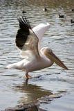 Ausbreitende Flügel des Pelikans Stockfoto