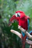 Ausbreitende Flügel des roten Papageien stockbild