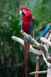 Ausbreitende Flügel des roten Papageien lizenzfreie stockfotografie