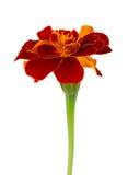 Ausbreitende Ringelblume der Nahaufnahme Lizenzfreies Stockfoto