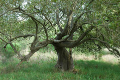 Ausbreitender Baum Stockbilder