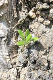 Ausbruch eines Olivenbaums Stockfotografie