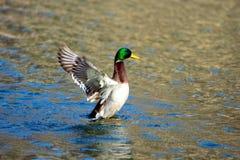 Ausdehnen der Ente Stockfotografie
