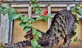 Ausdehnen der Katze Lizenzfreie Stockfotografie
