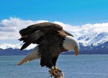 Ausdehnen des Adlers Stockbilder