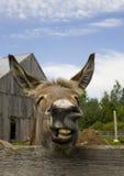 Ausdrucksvoller Esel auf Bauernhof lizenzfreie stockfotos