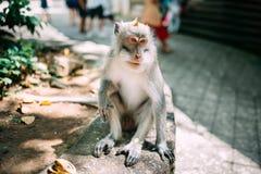ausdrucksvoller langschwänziger Affe, der im natürlichen Lebensraum sitzt und kleine Bananen genießt Lizenzfreie Stockbilder