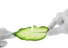 Auseinander Bruch des grünen Blattes, in den schwarz-weißen Händen. Lizenzfreie Stockfotos
