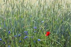 Ausführliche Ansicht über grüne Felder der landwirtschaftlichen Kultur an einem Sommertag lizenzfreies stockfoto